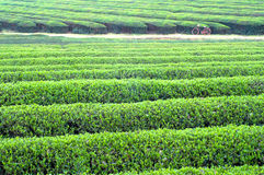 Large areas of tea plantation Stock Photography