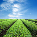 Large areas of tea plantation Royalty Free Stock Photography