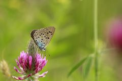 Large Arion Blue butterfly is on your purple flower. The butterfly in the meadows. Green and purple background, meadow, pasture land. The butterfly with black stock photos