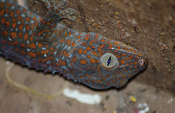 Large Asian Gecko Revealed in Hiding Spot. A Large Asian gecko hides in a corner of a wooden country home in Southeast Asia. Geckos like these are territorial Stock Images