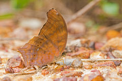Large Assyrian butterfly Stock Image