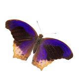 Large assyrian butterfly isolated Royalty Free Stock Photos