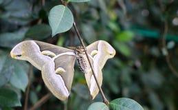 Large Atlas Moth Royalty Free Stock Image