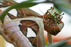 A large Atlas moth laying eggs Stock Photos