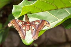 Large Atlas moth tropical butterfly Attacus atlas resting. On a big green leaf in jungle vegetation stock images