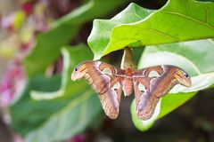 Large Atlas moth tropical butterfly Attacus atlas resting. On a big green leaf in jungle vegetation Stock Photo