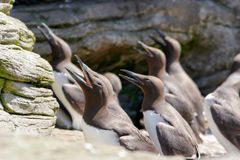 Large Auks in the Ocean rocks Royalty Free Stock Photography