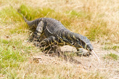 Large Australian goanna lizard walking in grass Royalty Free Stock Photos