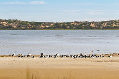 Large Australian Pelican Water Birds Resting On The Beach At Coo Stock Photo