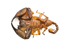 Large australian scorpion Royalty Free Stock Images
