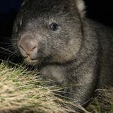 Wombat at night Royalty Free Stock Photos