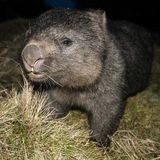 Wombat at night Stock Images