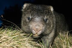Wombat at night Royalty Free Stock Photography