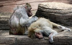 A large baboon grooming another animal in a zoo. stock photos
