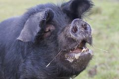 A big pig with a open mouth stock photos