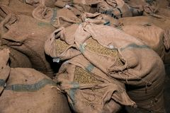 Large bags a raw coffee beans. Coffee bean sorting and processing in a factory Royalty Free Stock Photo