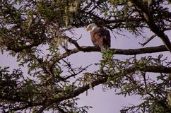 Large bald eagle sits in the branches of a spruce tree and scans the sea for prey stock photography