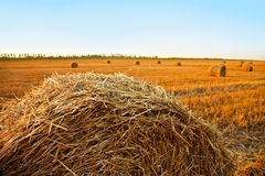 Large bales of hay and wheat field mown Stock Photo
