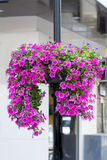 A large ball of pink petunias on the street. A large ball of dark pink petunias on the street royalty free stock image