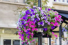 A large ball of pink and violet petunias. A large ball of dark pink petunias on the street stock photo