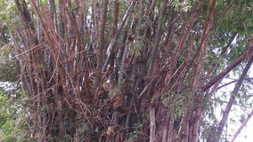 Large bamboo bush on river bank in Vietnam stock video