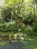 Large Bamboo Forest Scenery Royalty Free Stock Photos