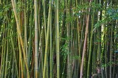 A large bamboo grove Royalty Free Stock Image