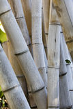 Large Bamboo Royalty Free Stock Photography