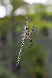 Large Banana Spider in Web Outside. Close up - vertical shot stock images