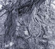 Large Banyan Tree Clings to a Rock Royalty Free Stock Images
