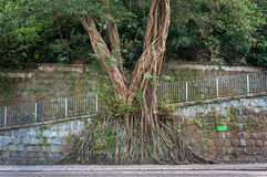 Large banyan tree growing against a wall in the mid-levels area of Hong Kong Island Royalty Free Stock Photo