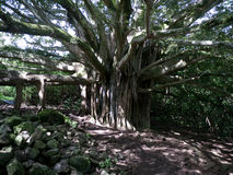 Large banyan tree in Hawaii Royalty Free Stock Photos