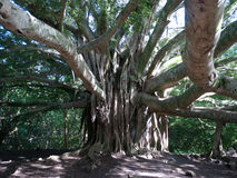 Large banyan tree in Hawaii Stock Image