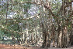 Large Banyan tree. A large Banyan tree with huge branches in India stock photos