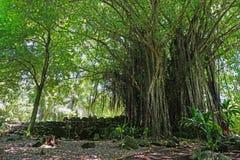 Large Banyan tree and marae French Polynesia Stock Photography