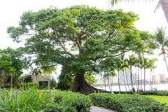 Banyan Tree in Palm Beach Florida. Large banyan tree near the intracoastal on Palm Beach Island, Florida during sunset stock photo