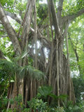 Large Banyan Tree. In a Park near the Southern Most Point in Key West, Florida royalty free stock image