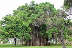 Large banyan tree. The roots of a large banyan tree in the garden stock images