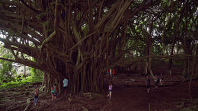 Large Banyan Tree at Wailuku River State Park in Hilo, Hawaii Stock Photography