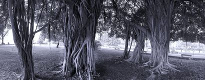 Large Banyan Trees in a Park Royalty Free Stock Photos