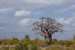 Large Baobab Stock Image