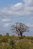 Large Baobab Royalty Free Stock Photo