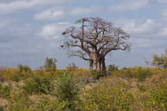 Large Baobab Stock Photo