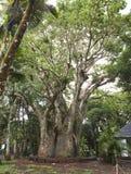Large baobab. Mauritius Royalty Free Stock Images