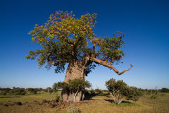 Large baobab tree. A massive baobab tree in Africa photographed in summer with leaves and a blue sky royalty free stock photo