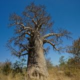 Large Baobab tree. Baobab is the fruit of Africa`s `Tree of Life`. Botswana, Africa royalty free stock photo