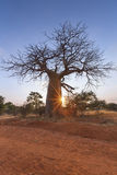 Large baobab tree without leaves sunrise with clear sky Stock Photography