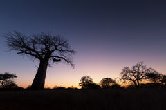 Large baobab tree without leaves at sunrise with clear sky Royalty Free Stock Image