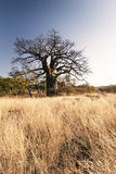 Large baobab tree without leaves at sunrise with clear sky Royalty Free Stock Photography