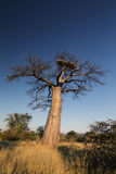 Large baobab tree without leaves at sunrise with clear sky Stock Images